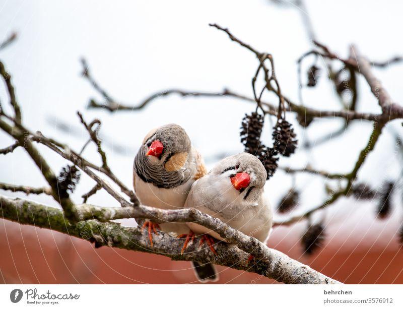 pieps pieps Tiergesicht Wildtier Gefieder Baum Natur Ast niedlich Flügel Federn Vogel Zebrafink Fink außergewöhnlich exotisch fantastisch schön klein Schnabel