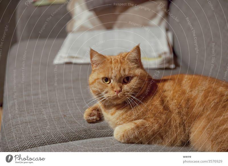 Schlafende rothaarige britische Kurzhaarkatze liegt auf einem Kissen und schläft Katzenrasse Krallen schlafen Tier Katzenkopf Textfreiraum kuschlig