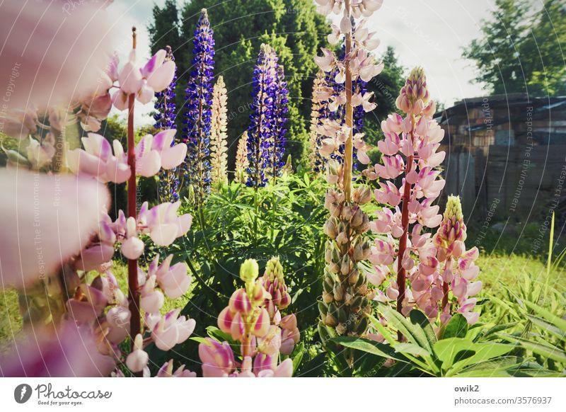 Bunte Kerzen Lupinen Blumen blühend Frühling Garten Idylle Pflanze Blüte grün Nahaufnahme Farbfoto Außenaufnahme schön Blühend Natur bunt rosa lila natürlich