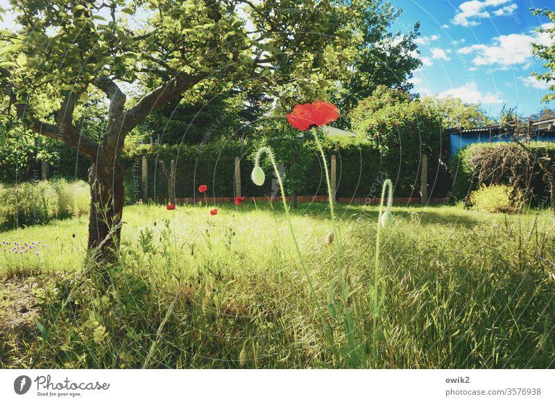 Mohnblüte rot leuchtende Farben knallrot Garten Baum Gras Gräser grün Himmel blau Wolken Zaun Grundstück Pflanze Blume Natur Außenaufnahme Blüte Wiese Sommer