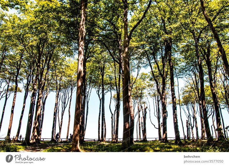 viele bäume und ein wald Idylle Sonnenlicht Baumstamm Deutschland Wald Gespensterwald Mecklenburg-Vorpommern Ostseeküste Tourismus Erholung