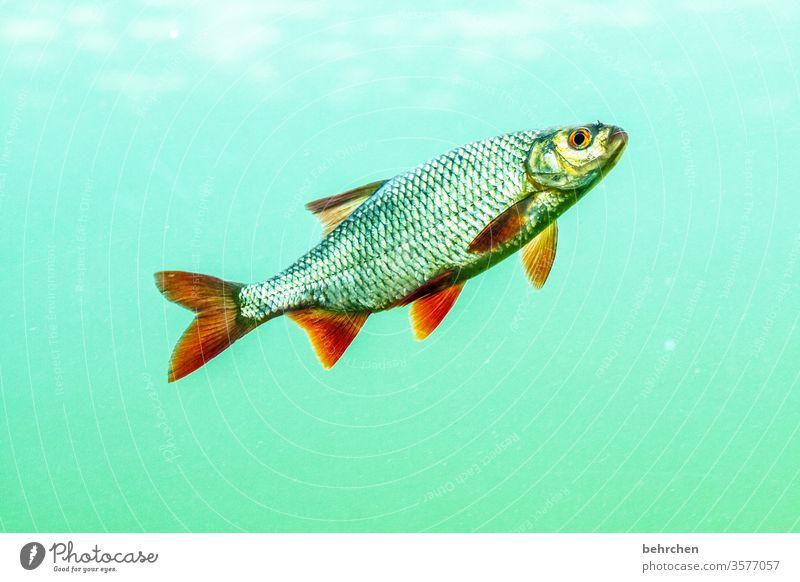 fischkopp Fisch Tier Schuppen schwimmen Wasser Aquarium Farbfoto Unterwasseraufnahme Tierporträt Menschenleer Natur Wildtier Meer See flossen Forelle Karpfen