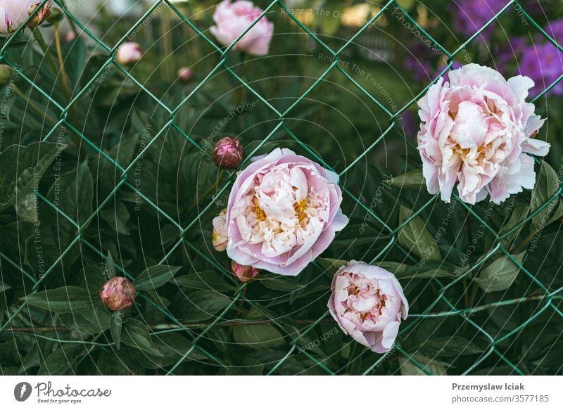 rosa Pfingstrosenblüten im Garten gegen grüne Blätter Hintergrund Blume Gras Sommer Raum Makro Blatt Natur schön Schönheit Chrysantheme nach oben Text groß