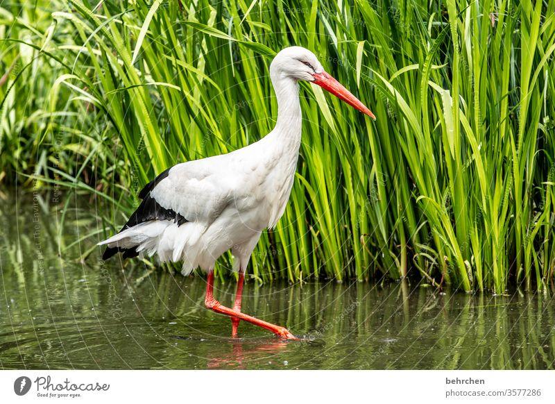 naaa nachbar... Tier fantastisch außergewöhnlich schön Schilfrohr Teich Feder Storch Flügel Farbfoto Licht Tag Menschenleer Schnabel Tiergesicht weiß Vogel