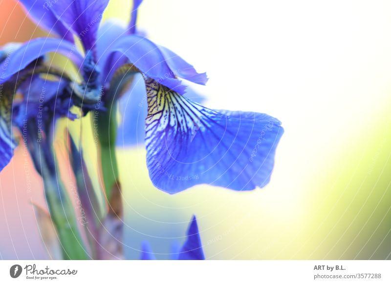 Iris blume blüte iris blau ausschnitt flower Natur Frühling Blühend garten