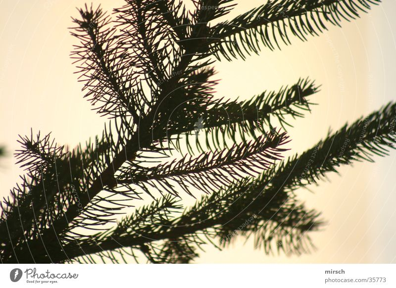 nadelbaum vorm fenster grün Tanne Nadelbaum