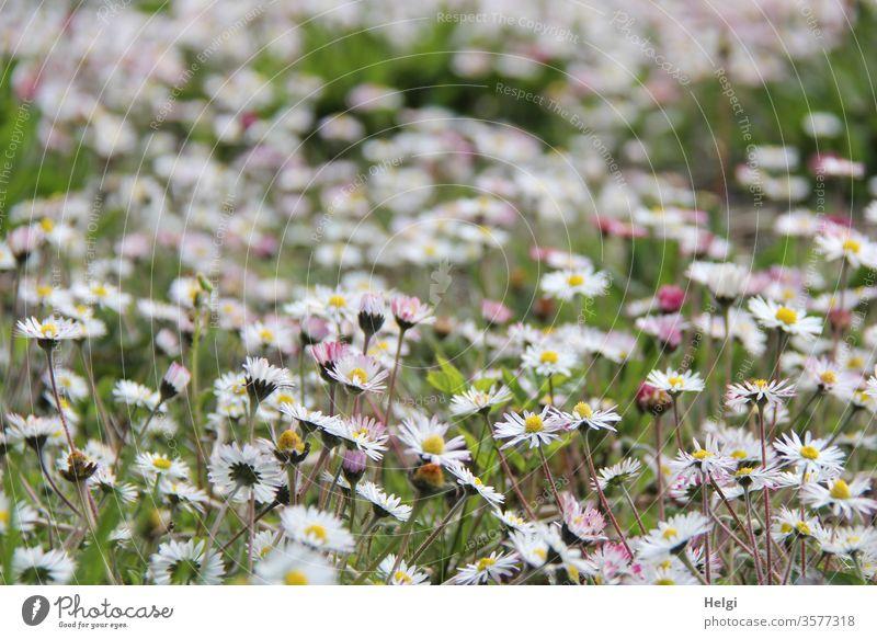 Blumenwiese - unzählige Gänseblümchen blühen auf einer Wiese Blüte Blühwiese Landschaft Natur Umwelt natürlich Pflanze Außenaufnahme Farbfoto Blühend