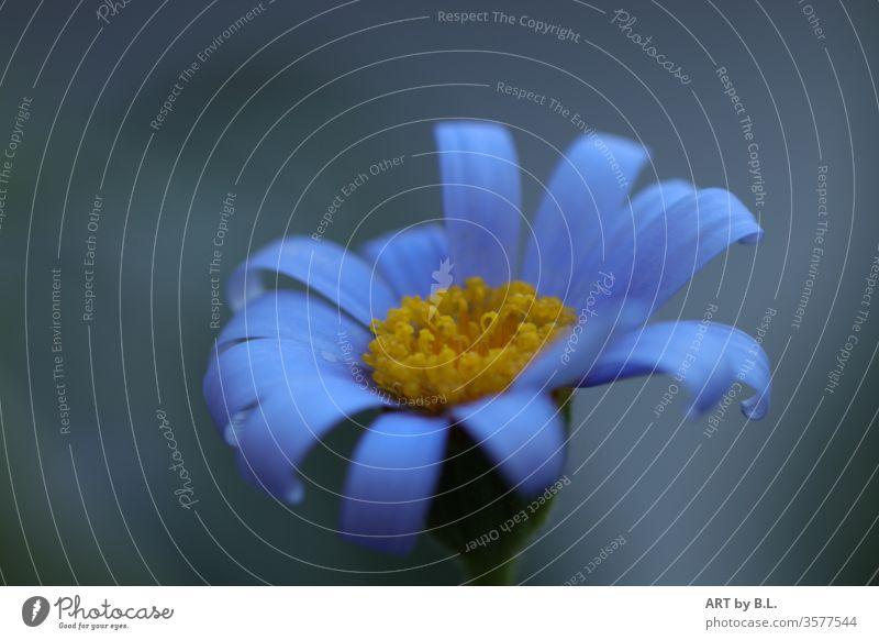 blaues Gänseblümchen blume blüte solistin solo allein australien australisches Gänseblümchen Frühling Natur Blühend Nahaufnahme Farbfoto Außenaufnahme makro