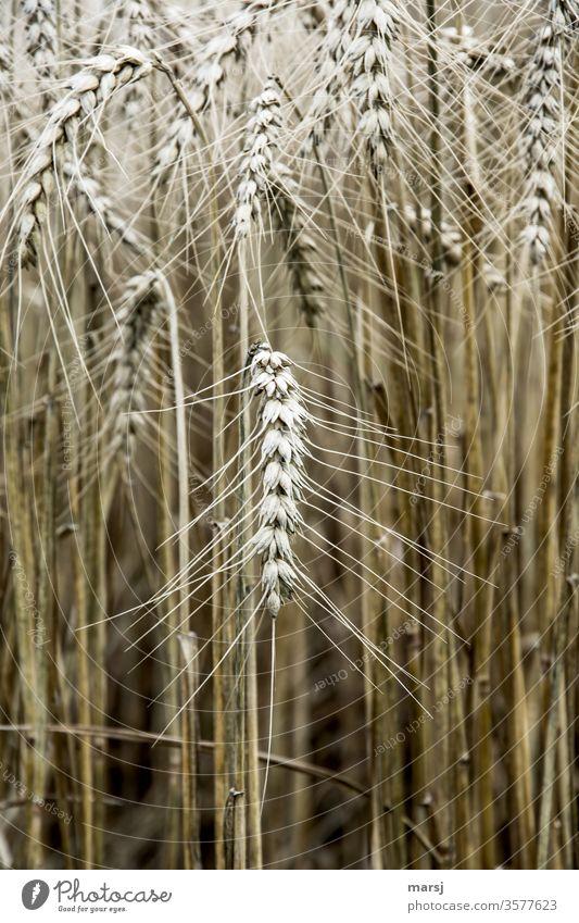 Getreideähre Getreidefeld Pflanze Ähren Natur Korn Kornfeld erntereif Feld Sommer Nutzpflanze Wachstum Landwirtschaft Grundnahrungsmittel Energielieferant
