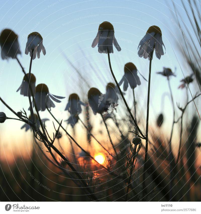 Sonnenuntergang am Feldrand Kamille Kamillenblüten Gerstenähren Abendsonnenlicht pastell Licht Abendspaziergang blaue Stunde Heilpflanze Froschperspektive