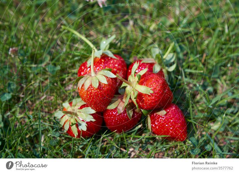 Sieben frisch gepflückte reife Erdbeeren liegen im Gras Lebensmittel Snack lecker Dessert Marmelade Frühstück Morgen geschmackvoll Brunch süß Feinschmecker