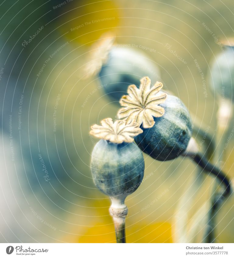 Mohnkapseln des Klatschmohns neigen sich zueinander Kapselfrucht samenstand Mohnblume Papaver rhoeas Sommer papaver Wiese grün Farbfoto Garten verblüht