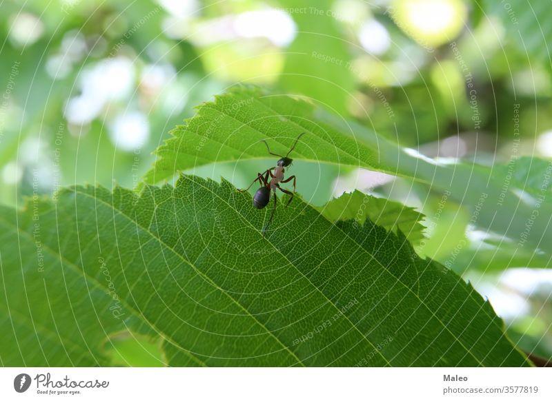 Schwarze Ameise läuft auf einem grünen Blatt schwarz Tier Ameisenhaufen ringsherum braun schließen Nahaufnahme Kolonie Wald Gras Menschengruppe Hügel Insekt