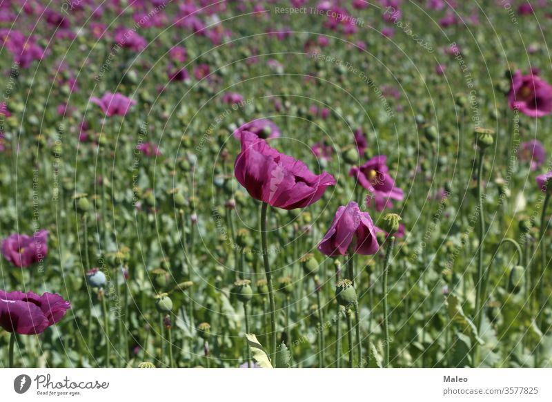 Feld mit rotvioletten Mohnblüten im Sommer Blume Schönheit Blüte Farbe Garten Wiese Natur Pflanze purpur Saison Frühling Hintergrund schön Blütezeit geblümt