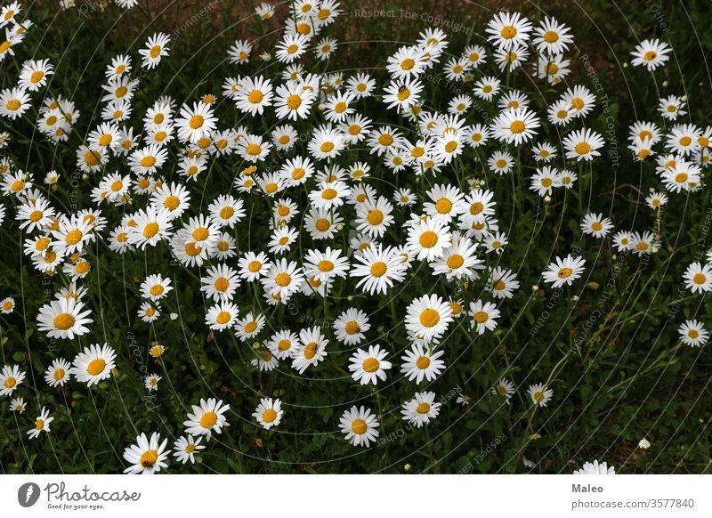 Eine Gruppe weißer Gänseblümchen auf der Wiese Hintergrund Schönheit Blüte Echte Kamille Nahaufnahme Farbe Bauernhof Landwirtschaft Feld Flora geblümt Blume