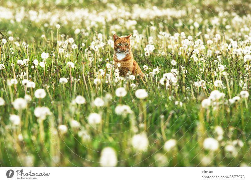rote Katze sitzt auf einer Wiese mit Pusteblumen Kater Freigänger ländlich Dorf romantisch warten Haustier Hauskatze Ruhe Kugel Samenstand Hundeblume Blick