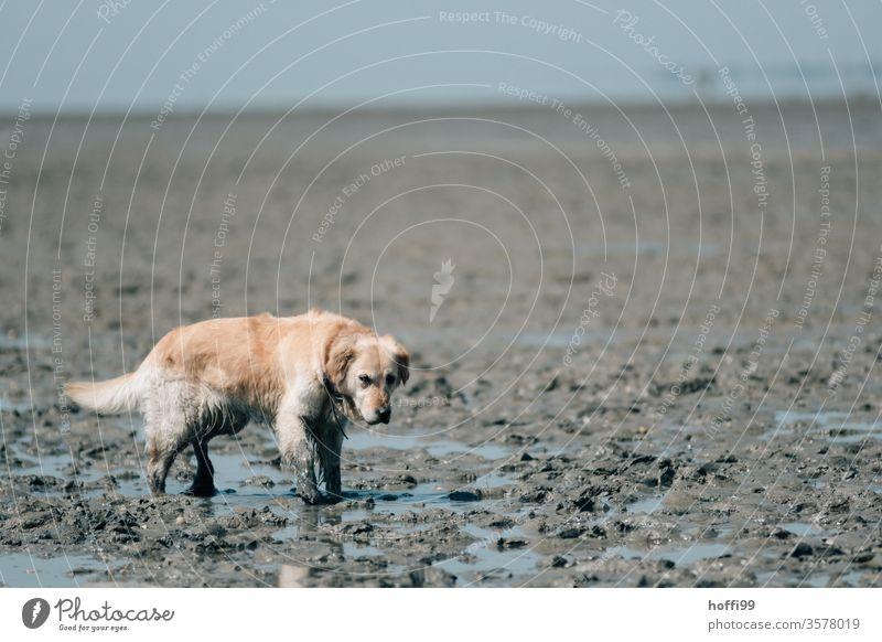 Hund im Watt - Wattwanderung an der Nordsee Wattwandern Wattenmeer Ebbe ebbe und flut Strand Wasser Küste Sand Horizont Gezeiten Meer Flut Schlick Schlamm See