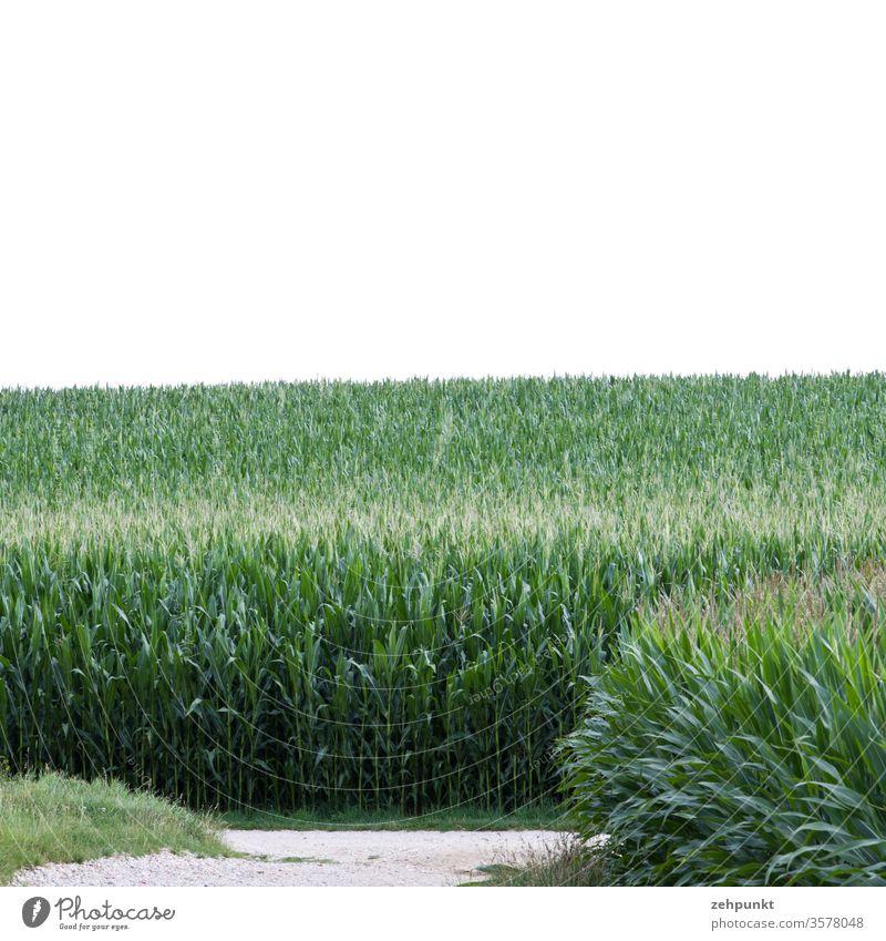 Zwei Maisfelder, eine Wege t-Kreuzung, weisser Himmel Wegkreuzung grün Landwirtschaft Feld Sommer Juli weiß