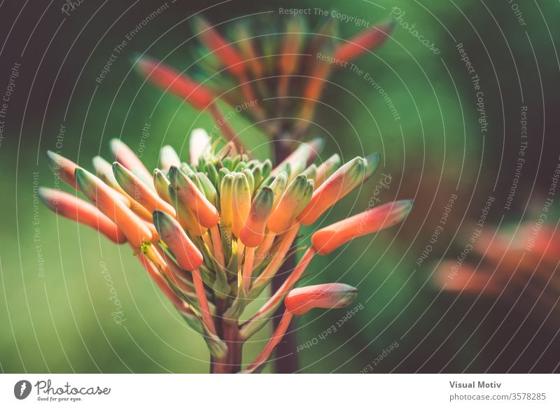 Knospen einer orangefarbenen Agavenblüte in einem Botanischen Garten Blütenknospen Blume Pflanze Wachstum hell Sommer Natur Botanik Jardi Botanic Blütezeit