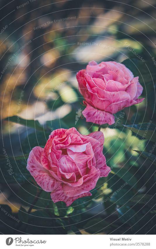 Zart rosa gestreifte Rosen, die in den Gärten eines städtischen Parks gezüchtet werden Roséwein filigran Blume kultiviert Blütezeit Garten Wachstum Blütenblatt