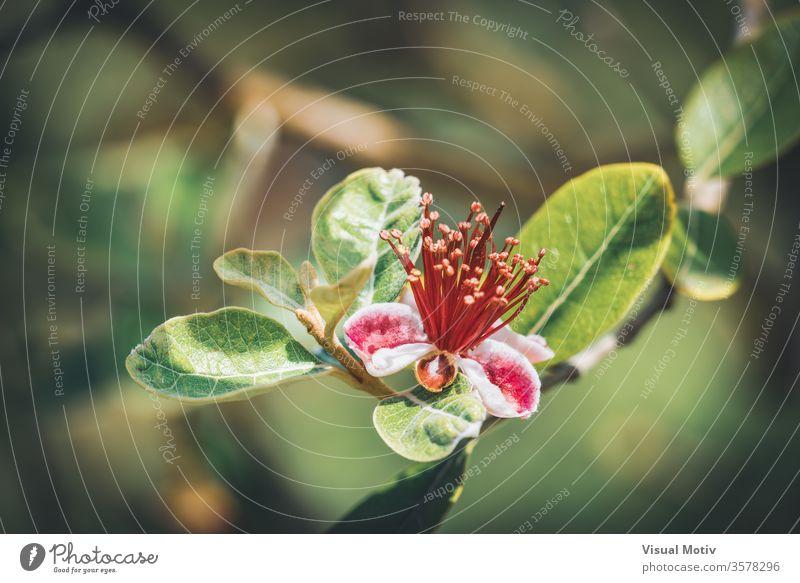 Exotische rote Blüte des Ananas-Guavenbaums, auch bekannt als Feijoa Sellowiana Blume feijoa Blütezeit botanisch Botanik Flora geblümt Blütenblätter blumig