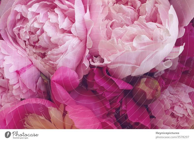 Rosa Pfingstrosen romantische Blumen Hintergrundbilder schön Schönheit Blütezeit botanisch Blumenstrauß Nahaufnahme Tag Dekoration & Verzierung Flora geblümt