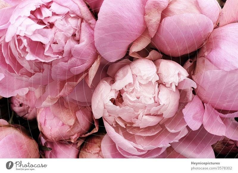 Rosa Pfingstrosen romantische Blumen Hintergrundbilder Geschmack männer schön Schönheit Geburtstag Blütezeit botanisch Blumenstrauß Nahaufnahme Sammlung Farbe