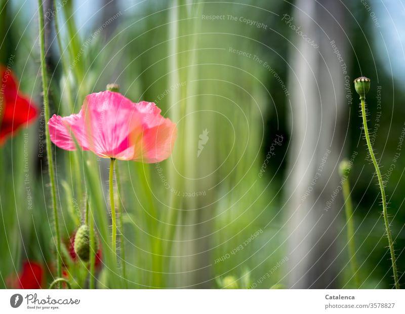 Kein Montag ohne Mohn Tag Wildpflanze schön Umwelt Mohnkapsel blühend grün rot Klatschmohn Wiese Mohnfeld Blüte Sommer Flora Pflanze Natur Blume Mohnblüte blau