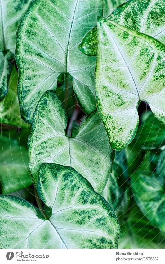 Grüne Blätter Syngonium podophyllum aus der Nähe, Zimmerpflanze geblümt grün Hintergrund Blatt Nahaufnahme vertikal abstrakt Laubwerk abschließen