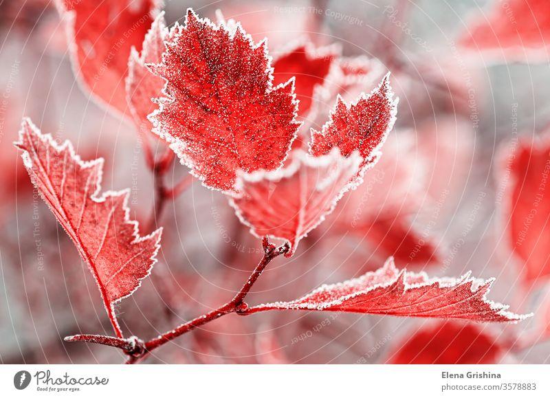 Hintergrund aus hellen, mit Raureif bedeckten Blättern. Frost Blatt frostig Kristalle Morgen Herbstfrost gefroren Laubwerk Reim frieren Ast gefrostet Reif