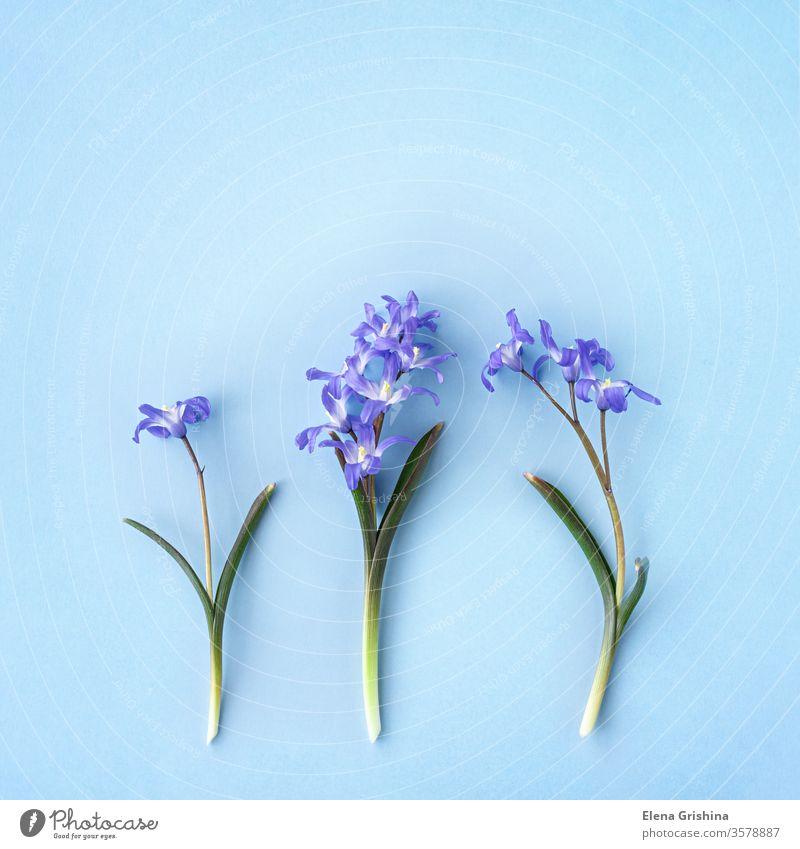 Scilla luciliae auf blauem Hintergrund scilla geblümt Quadrat Frühling Blume chionodoxa forbesii flach legen Kopie Raum Nahaufnahme Überstrahlung bauchig