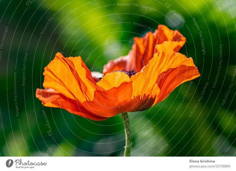 Makrofoto einer einzelnen Mohnblume. Mohnblumen rot rote Mohnblumen blühende Blumen scharlachrot offene Blume mehrjährige Pflanzen Mohnfeld holländisch