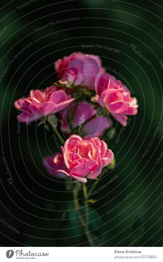Blühende Rosen im Garten. rosa Roséwein Blume Blüte Tau Blütezeit Klettern Frottee Blütenblätter Nachbau Kinderzimmer Blumengarten Park Blatt Überstrahlung nass