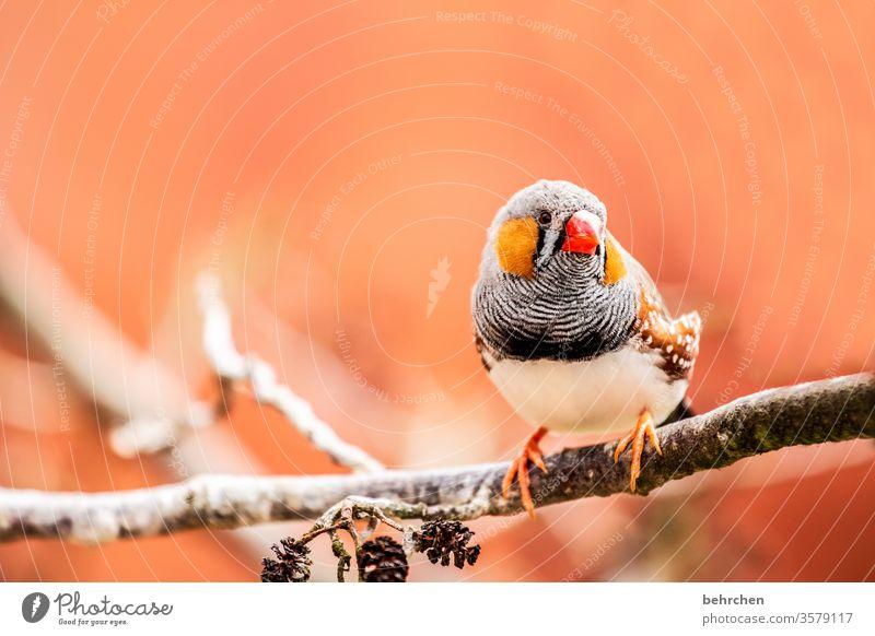 pieps Tierporträt Unschärfe Kontrast Licht Tag Menschenleer Detailaufnahme Nahaufnahme Außenaufnahme Farbfoto Schnabel rot klein schön fantastisch exotisch