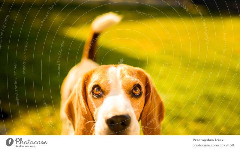 Bezaubernder Beagle-Hund Hintergrund. Kopierfeld für Text rechts Porträt Tier Haustier im Freien Natur Park jung Glück Eckzahn Gras niedlich Freund Jagdhund