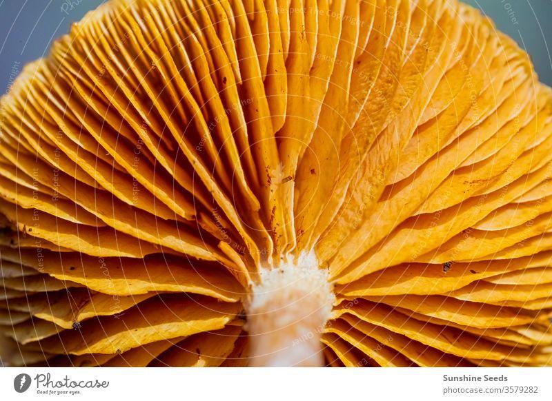 Nahaufnahme von Pilzen in einer Kiefernwald-Plantage im Tokaier Wald Kapstadt wild Pinienwald orange braun Nadeln Mykologie giftig Umwelt fallen frisch