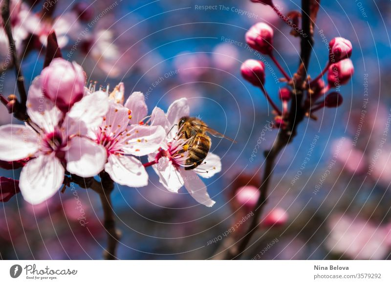 Honigbiene auf Kirschblütenbaum, Frühling Biene Tier Apis mellifera Hintergrund schön Schönheit Bienen Blütezeit Überstrahlung blüht blau Ast hell Kirsche