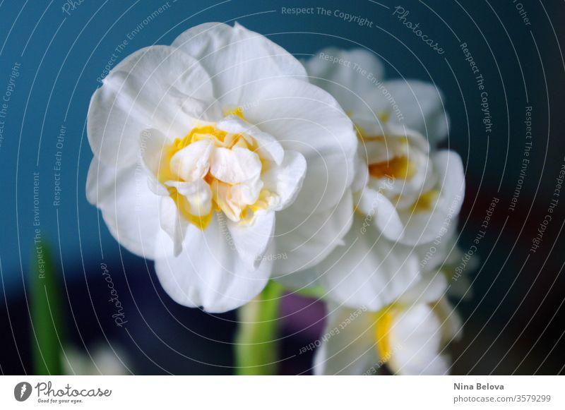 Narzissenblüte in Nahaufnahme auf blauem Hintergrund. Frühlingsstimmung. Grußkarte zum Osterfest. Botanisch. Gartensaison. Saison Pflanze Blütenblatt Natur