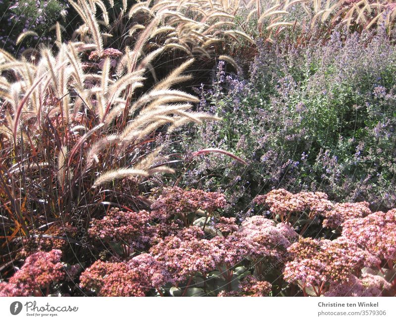 Spätsommerliche Blumen und Gräser. Rotes Lampenputzergras, Fetthenne und Katzenminze Pennisetum setaceum rubrum Fette Henne Sommer Sommerblumen blühend