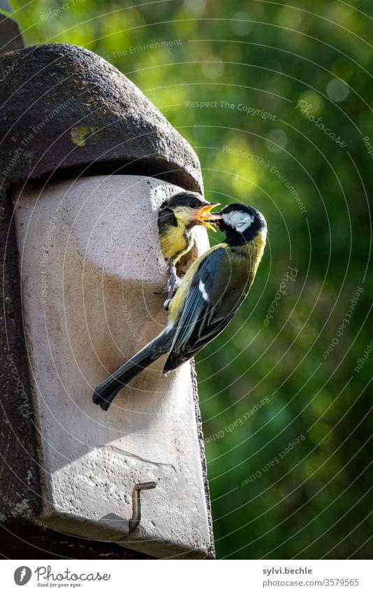 Kohlmeise füttert ihr Junges Meise Meisen Vogel Vogelfamilie Jungtier füttern Fütterung Fürsorge Nistkasten Wildtier Tierporträt brüten Brut Brutpflege fliegen