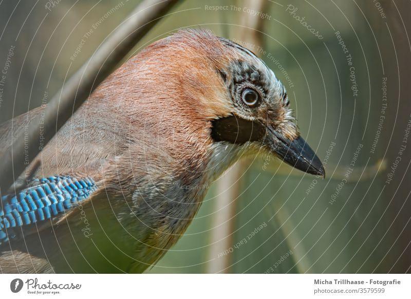 Eichelhäher Porträt Garrulus glandarius Tiergesicht Kopf Schnabel Auge Feder Flügel gefiedert Vogel Wildtier Natur nah Blick Sonnenlicht Schönes Wetter