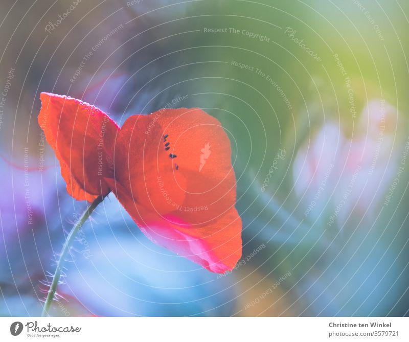 Nahaufnahme einer roten Klatschmohn Blüte vor bunt verschwommenem Hintergrund Mohn Papaver rhoeas Mohnblüte Mohnblume roter Mohn Naturliebe Blume Sommer