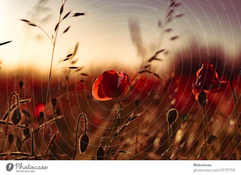 Mohnblume im Abendlicht Makroaufnahme goldenes Licht Außenaufnahme Natur Farbfoto goldene Stunde Sonnenuntergang Menschenleer Landschaft schön natürlich