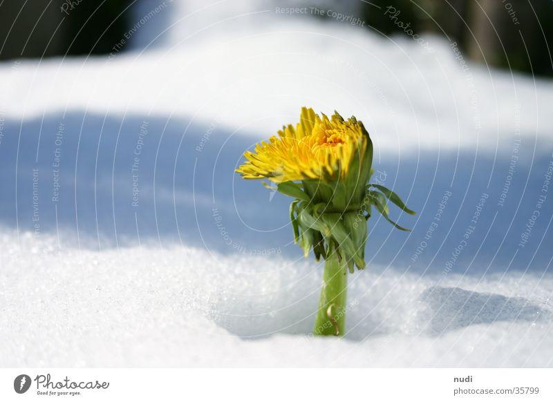 Kuck mal wer da blüht Löwenzahn Blume Frühling Winter gelb weiß grün verdeckt Blüte Schnee Schattern