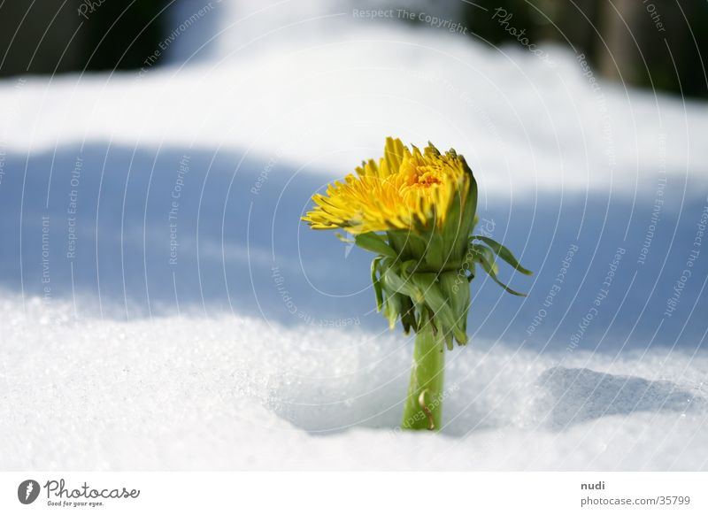 Kuck mal wer da blüht weiß Blume grün Winter gelb Schnee Blüte Frühling Löwenzahn verdeckt
