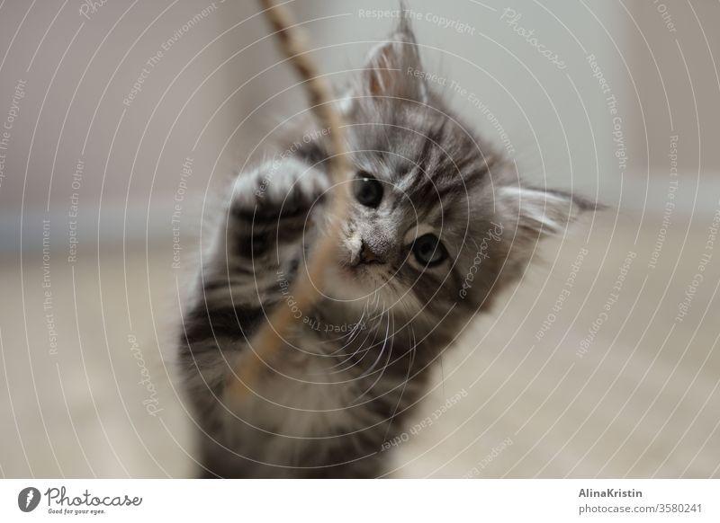 Maine-Coon-Katze spielt mit Schnur Maine Coon Rassekatze Fell Langhaarige Katze Haustiere fluffig weiß grau fluffy katzenhaft getigert getigerte Katze kitten