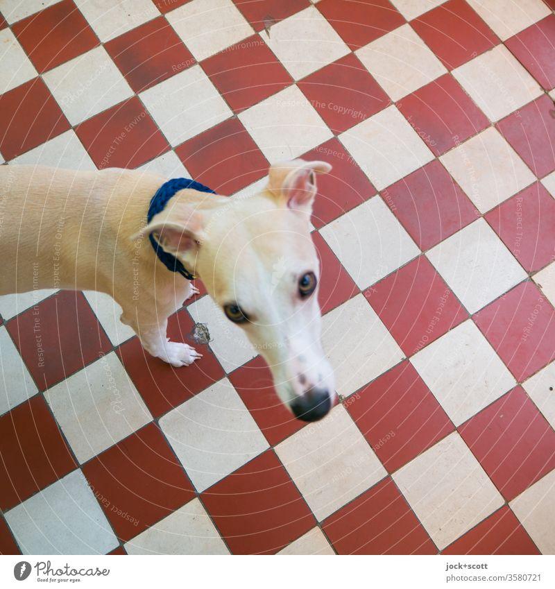 #2222 visuelle Formen, Farben und ein Hund Tierporträt Haustier Tiergesicht Windhund Whippet nachschlagen rot weiß Strukturen & Formen abstrakt Sinnesorgane