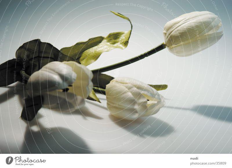 tulipe #5 Tulpe Blume weiß grün nah Tiefenschärfe Unschärfe Licht Blüte gestellt