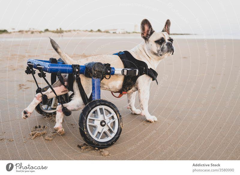 Französische Bulldogge im Rollstuhl am Meer Hund französische Bulldogge Seeküste Strand Küstenlinie deaktivieren Tier Handicap heimisch Windstille Wasser