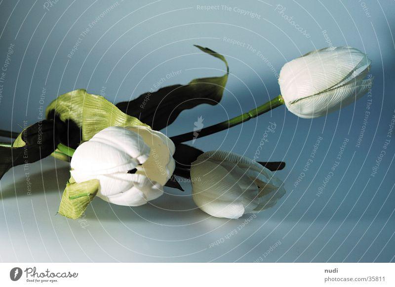 tulipe #4 weiß grün Blume Blüte nah Tulpe Tiefenschärfe gestellt